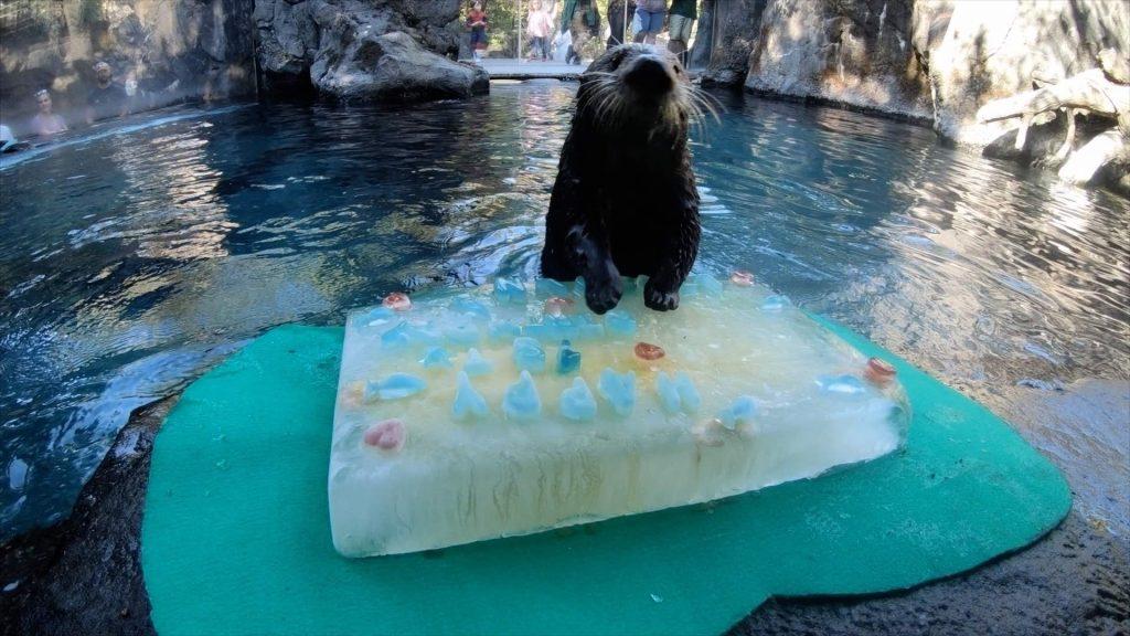 Rescued Sea Otter Celebrates First Birthday at Oregon Zoo
